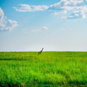 Giraffe on Grass